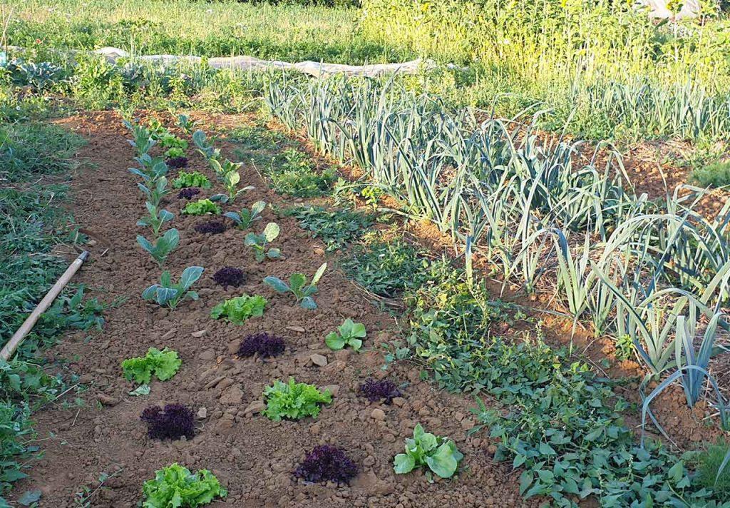 Potager salade en quinconceet et poireaux