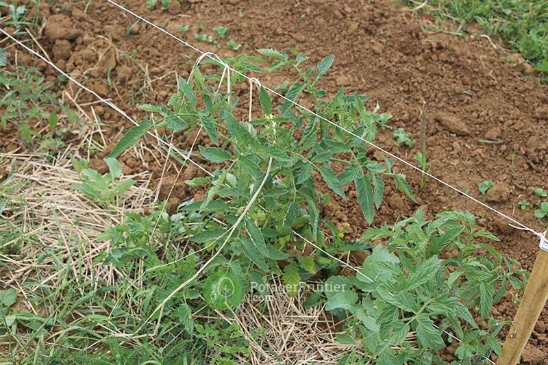 Tomate repiquée en pleine terre