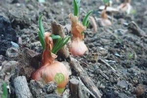 Oignons germés plantés serrés